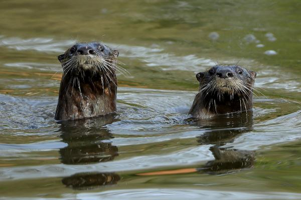 twee otters (© GettyImages)
